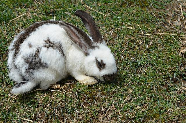 bíločerný králík