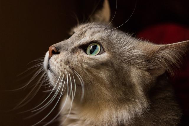 vousatá kočka