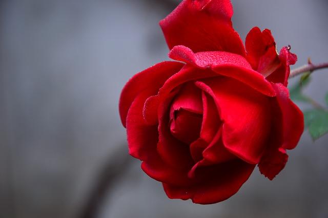 Růže, krása, příroda, klid.